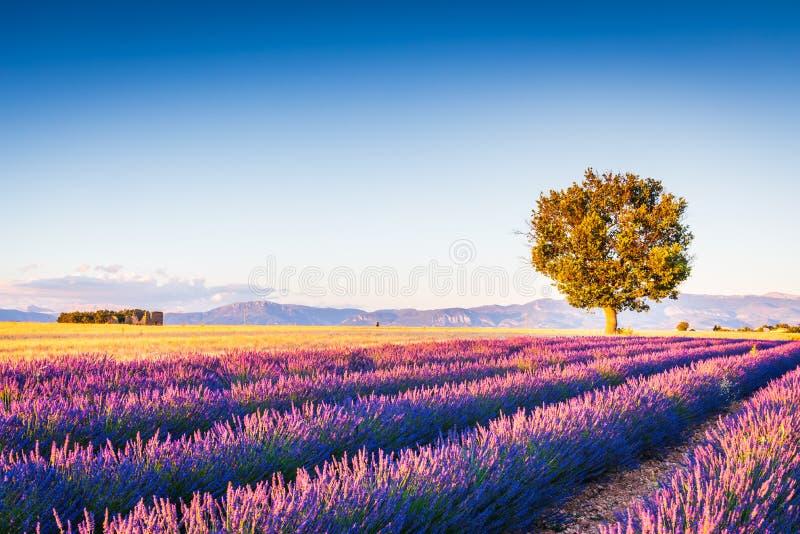 Valensole lavendel i Provence, Frankrike royaltyfria foton
