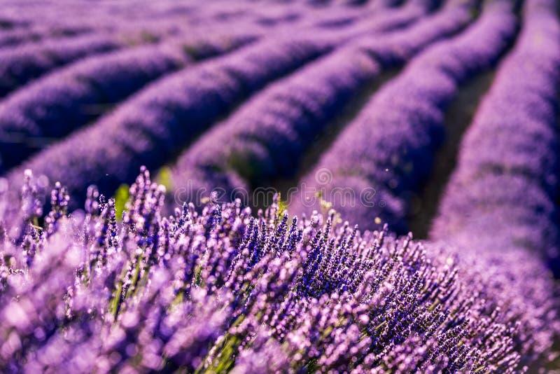 Valensole-Lavendel in Provence, Frankreich stockbilder