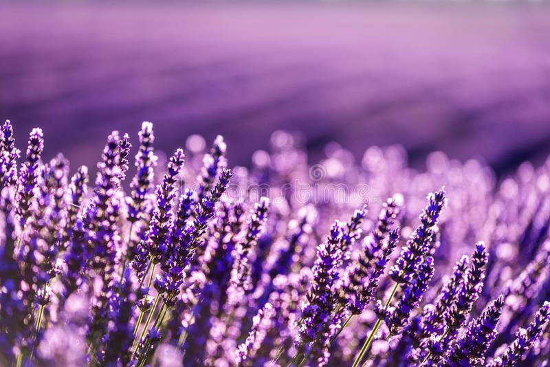 Valensole lavender in Provence, France stock photo