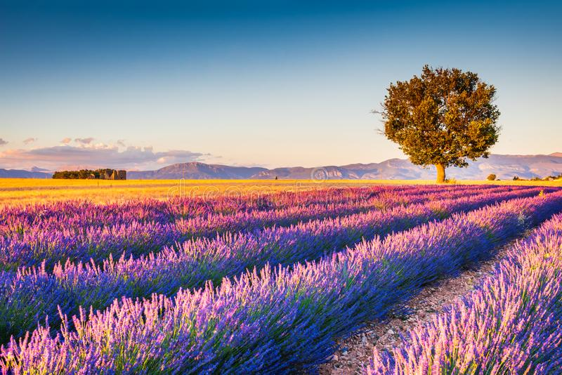 Valensole, Provence in France - lavender field stock images