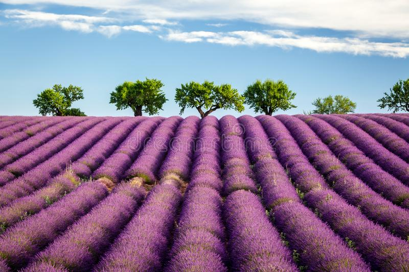 Lavender field with trees on horizon, Valensole, Provence, France stock photo