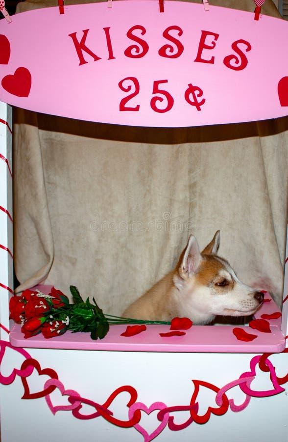 Valentijnsse husky puppy met een groot rood hart en een enkele rode roos op een zwarte achtergrond stock foto