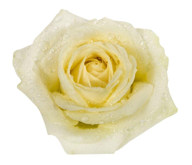 Valentim, flor, rosa, imagem de stock