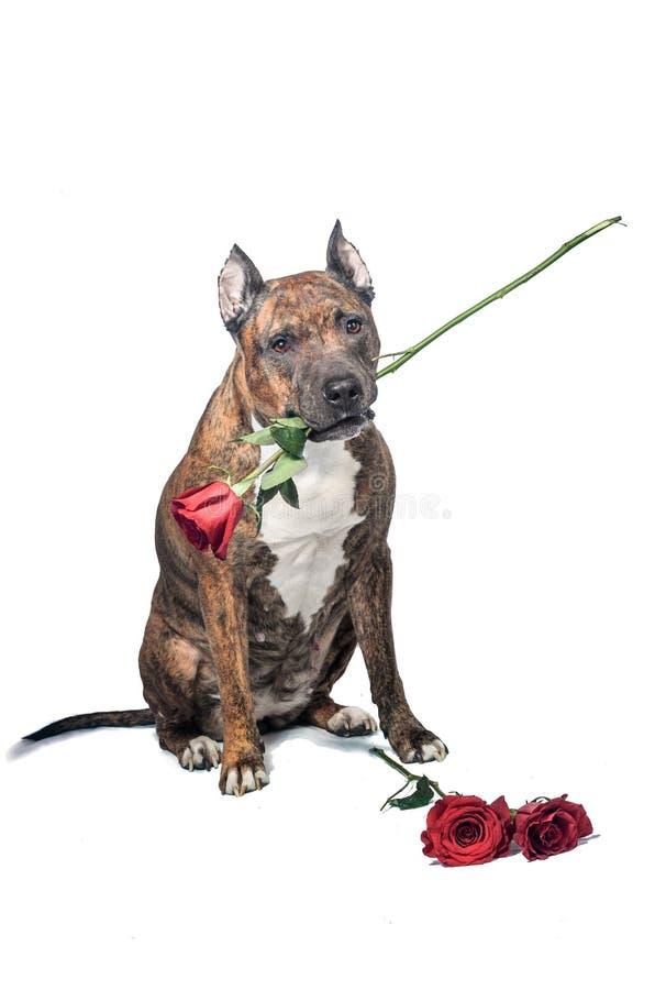 Valentin dog förälskat med dig, med en röd ros i mun, isolerade på vit bakgrund arkivbilder