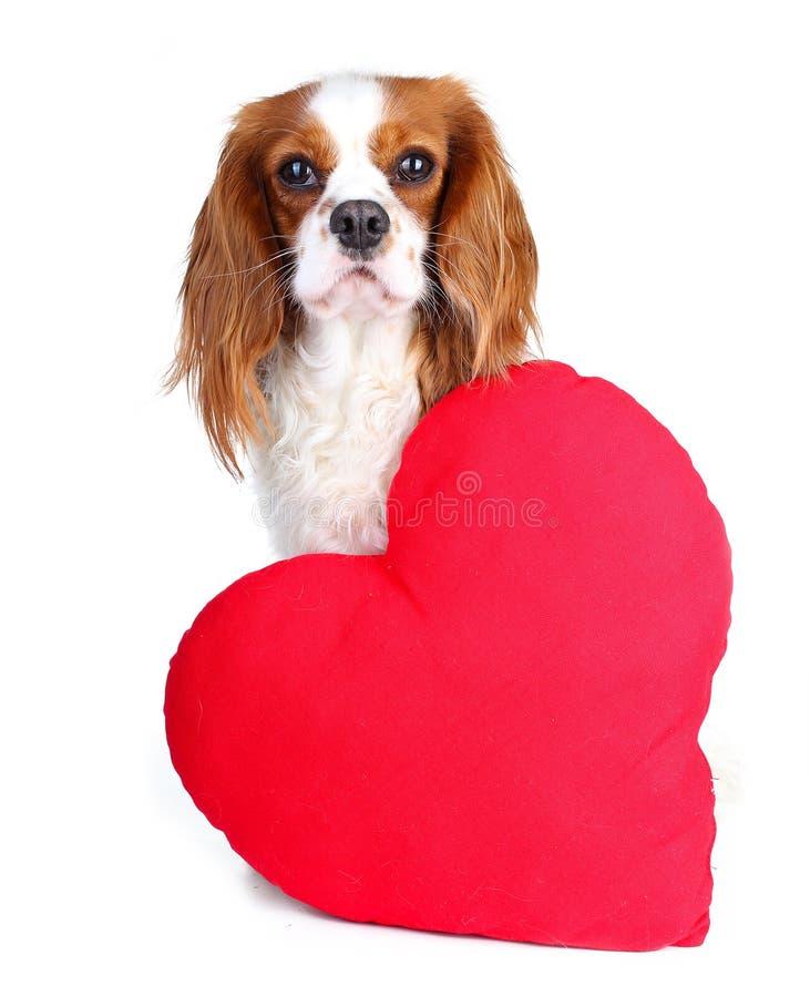 Valentindagfoto Hunden med hör Valp med flott sof-hjärta Spaniel för dag för valentin` s Valpförälskelse Gullig konung charles royaltyfri foto
