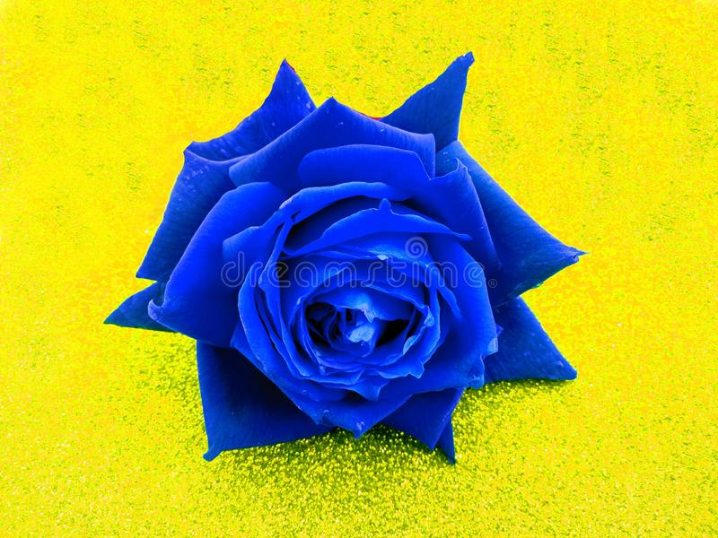 Valentine blue rose, love concept. Valentine`s day. Many uses for advertising, book page, paintings, printing, mobile backgrounds, book, covers, screen savers stock images