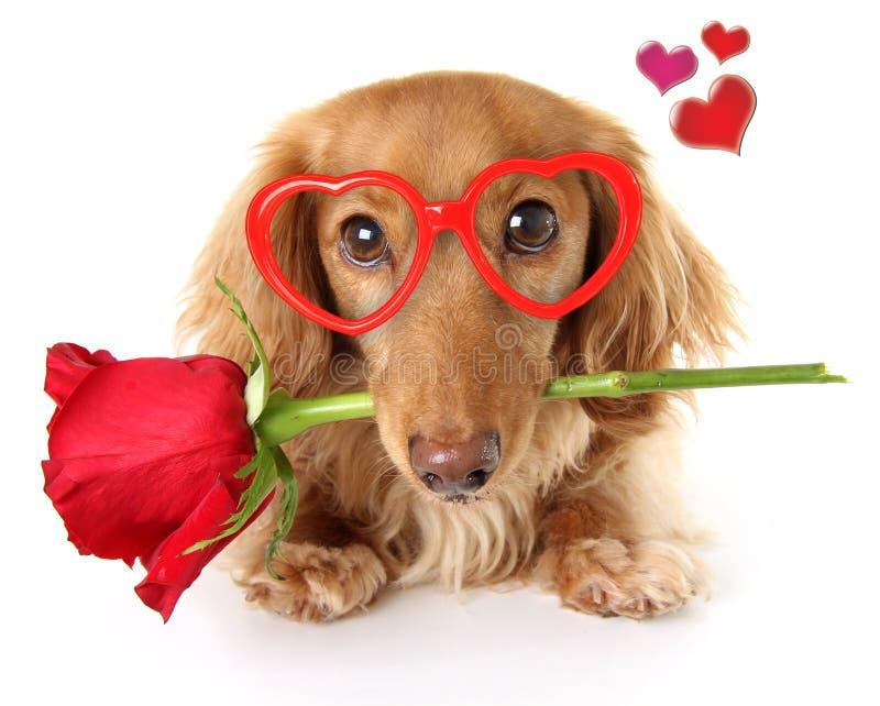 Valentine Dachshund puppy royalty free stock images