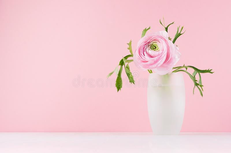 Valentine day background - gentle pink flower buttercup with green leaves in elegant vase on soft light white wood board. Valentine day background - gentle pink royalty free stock image