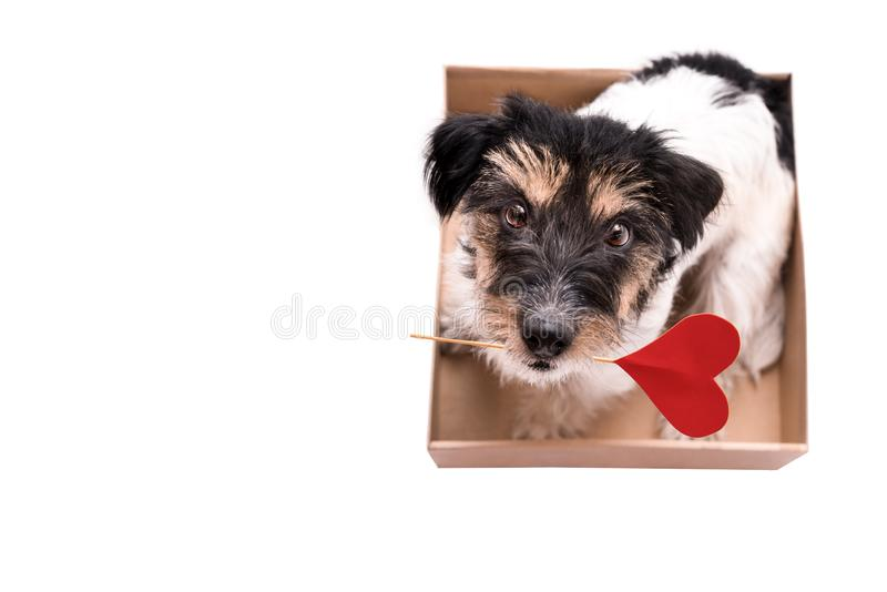 Valentine Dog is sitting in a box with a heart and looking up stock photos