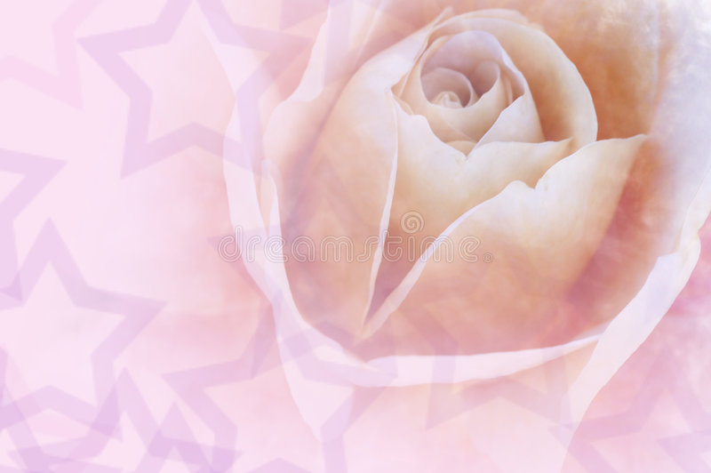 Valentine Love Rose stock images