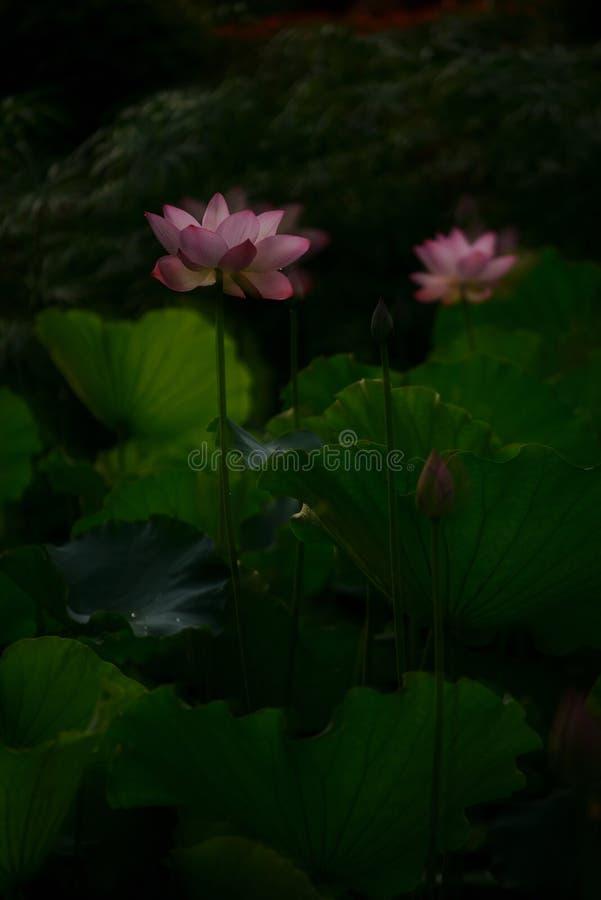 Valentine Pink Lily Lotus med det gröna bladet royaltyfria bilder