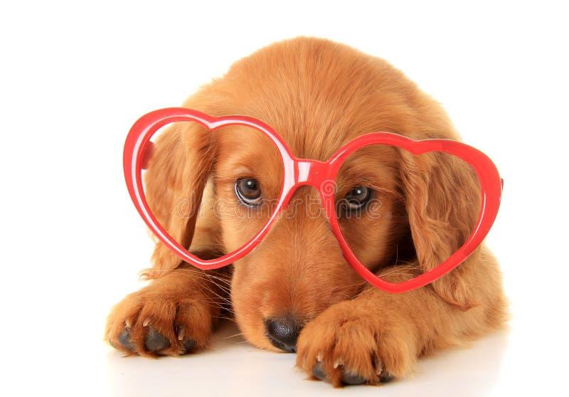 Valentine Puppy arkivbilder