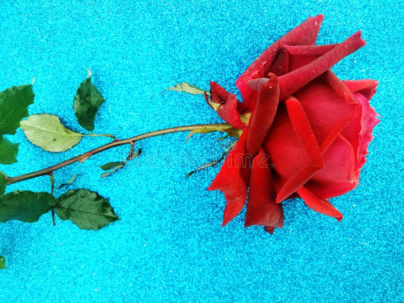 Valentine red rose, love concept. Valentine`s day. Many uses for advertising, book page, paintings, printing, mobile backgrounds, book, covers, screen savers royalty free stock photos
