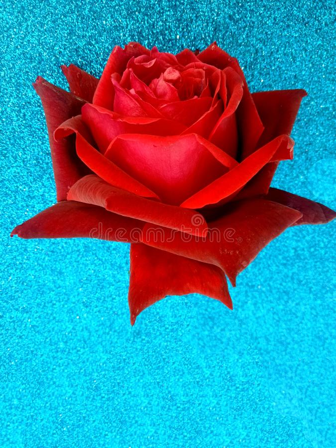 Valentine red rose, love concept. Valentine`s day. Many uses for advertising, book page, paintings, printing, mobile backgrounds, book, covers, screen savers stock image