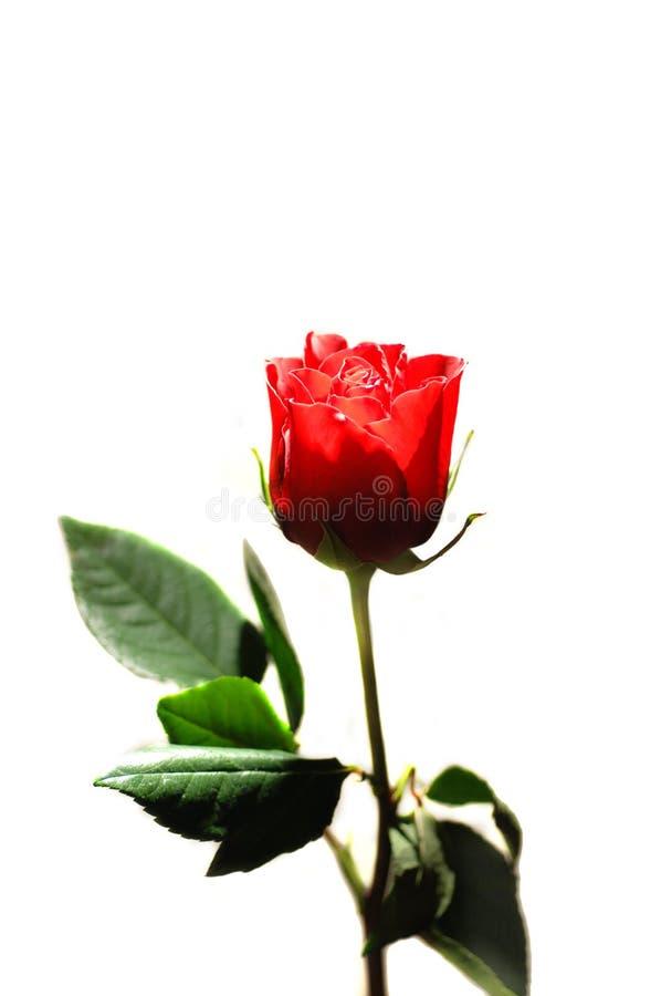 Valentine Rose Royalty Free Stock Image