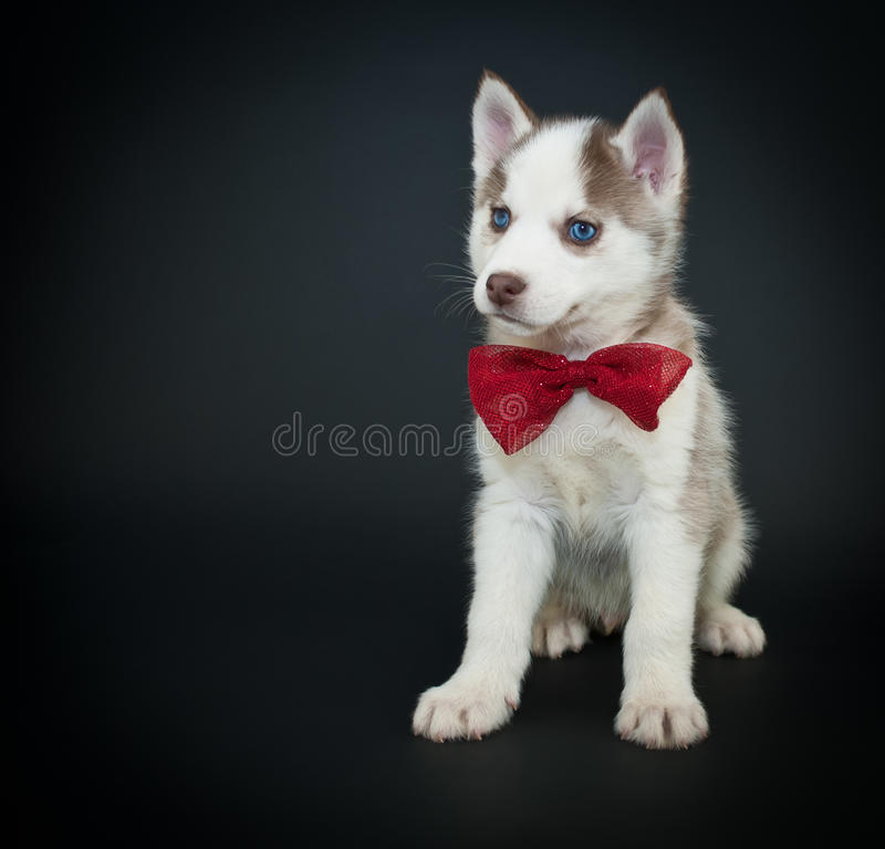 Great Valentine Bow Adorable Dog - valentine-s-day-puppy-cute-little-husky-wearing-bow-tie-sitting-black-background-copy-space-49472452  Photograph_476471  .jpg