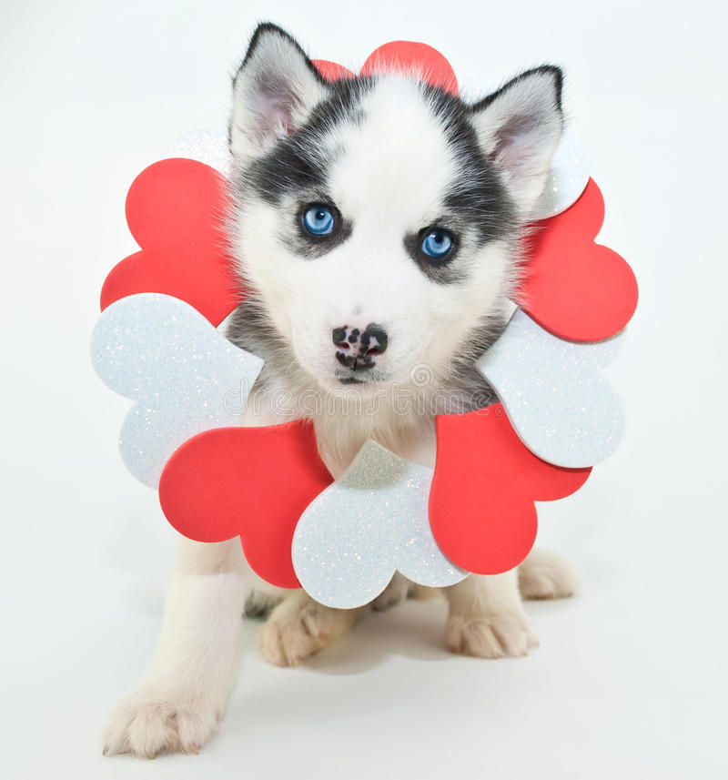 Download Valentine's Day Puppy stock photo. Image of animal, domestic - 49473166