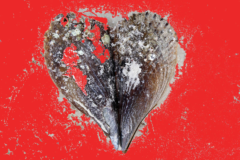 Valentine sea shell heart royalty free stock photo