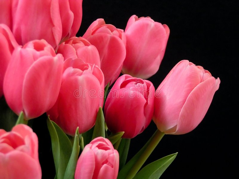 Valentine tulips. Pink valentine tulips royalty free stock photos