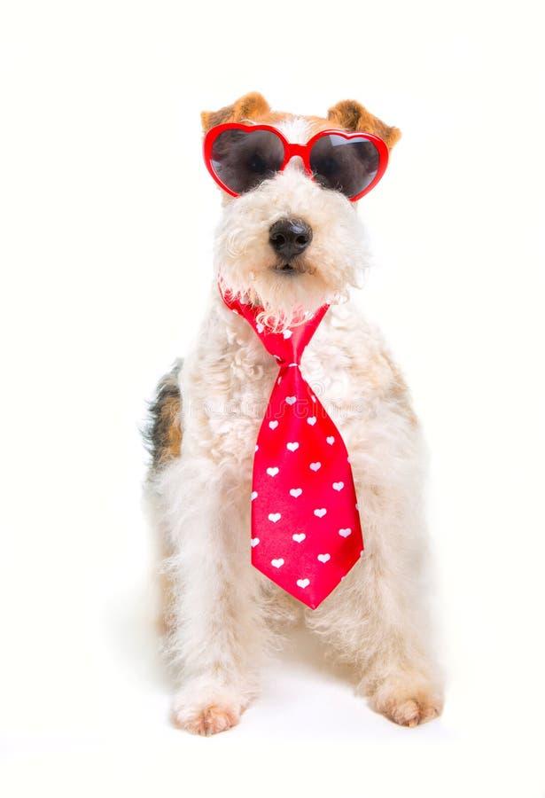 Valentine Wire Fox Terrier royaltyfri fotografi
