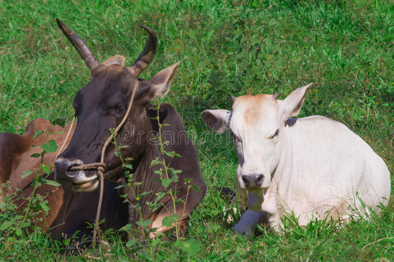 Valentines concept. Humble happy cow and bull living the simple. Life. Animal love and pair bonding. Black and White in harmony. Leasure and relaxation cows in stock photos