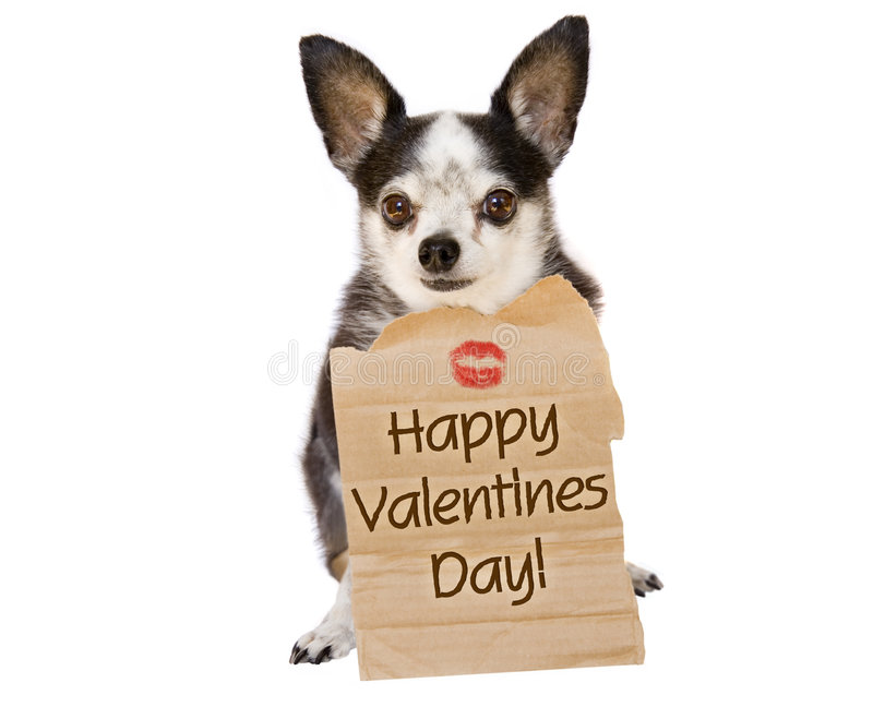 Valentines day dog kiss. Happy Valentines day from a chihuahua sealed with a kiss