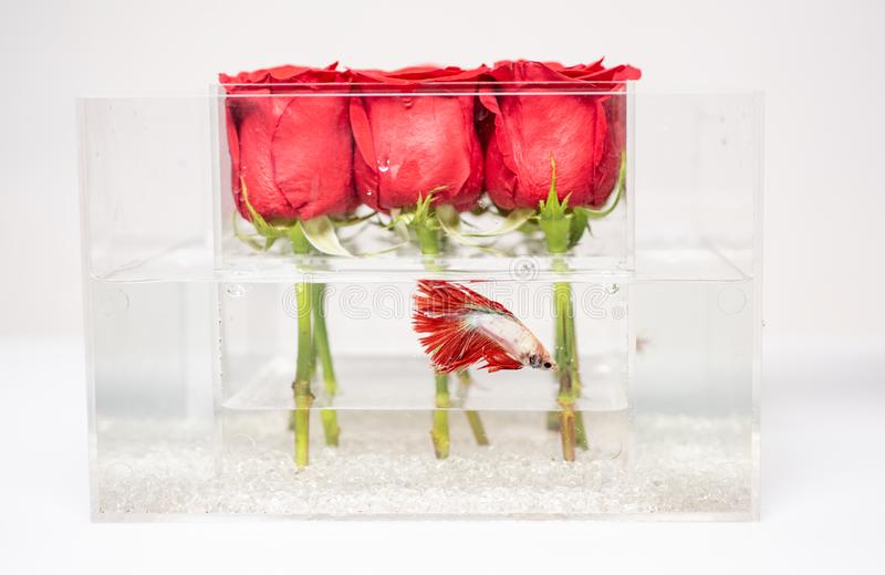 Valentines day present. Aquarium with fish and roses. Flower shop. red rose bouquet in box. Floral design. Love and stock image