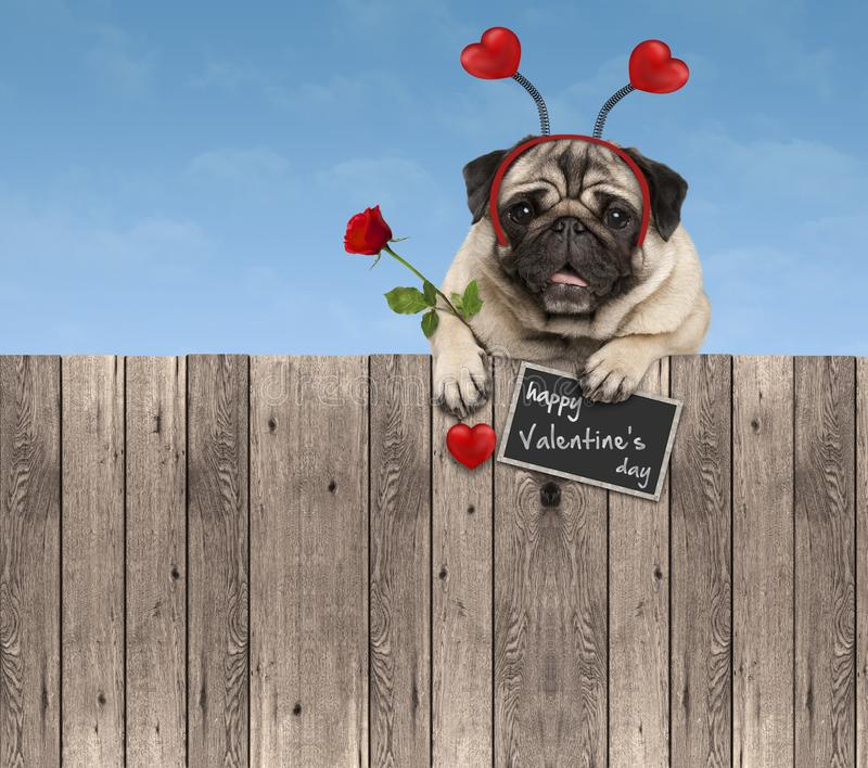 Valentines day pug dog with hearts diadem and rose, hanging on wooden fence. On blue sky background royalty free stock photo