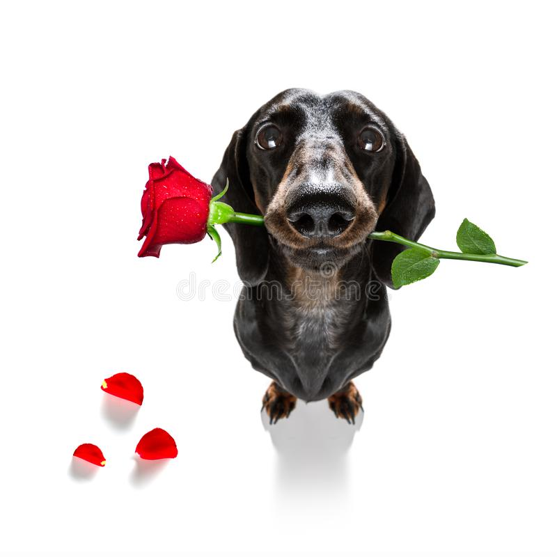Free Valentines Dog In Love Royalty Free Stock Photography - 130383507