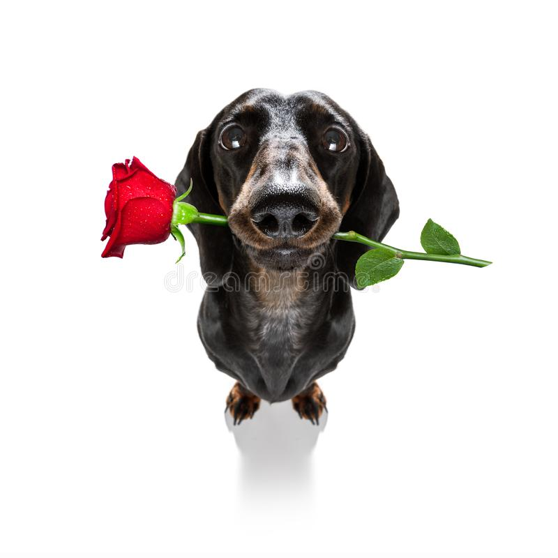 Valentines dog in love. Dachshund sausage dog in love for happy valentines day with rose flower in mouth , isaolated on white background petals flying around in stock images