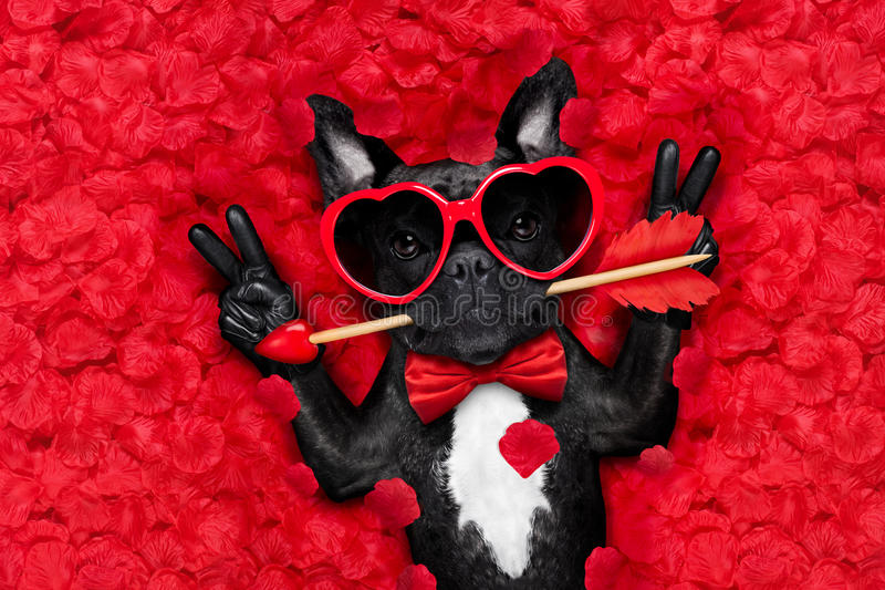 Valentines dog in love. French bulldog dog lying in bed full of red rose flower petals as background , in love on valentines day , with arrow in mouth and peace