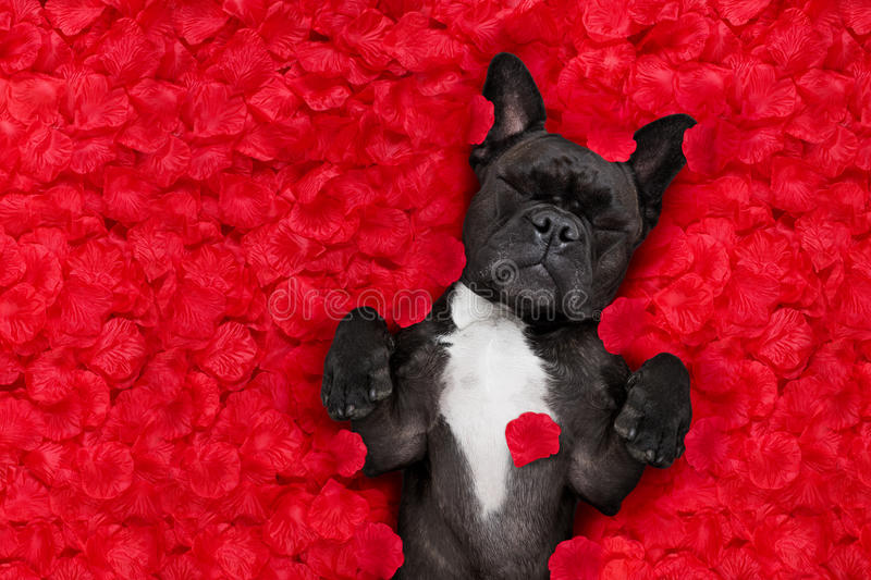 Valentines dog in love. French bulldog dog lying in bed full of red rose flower petals as background , in love on valentines day and sleeping stock image