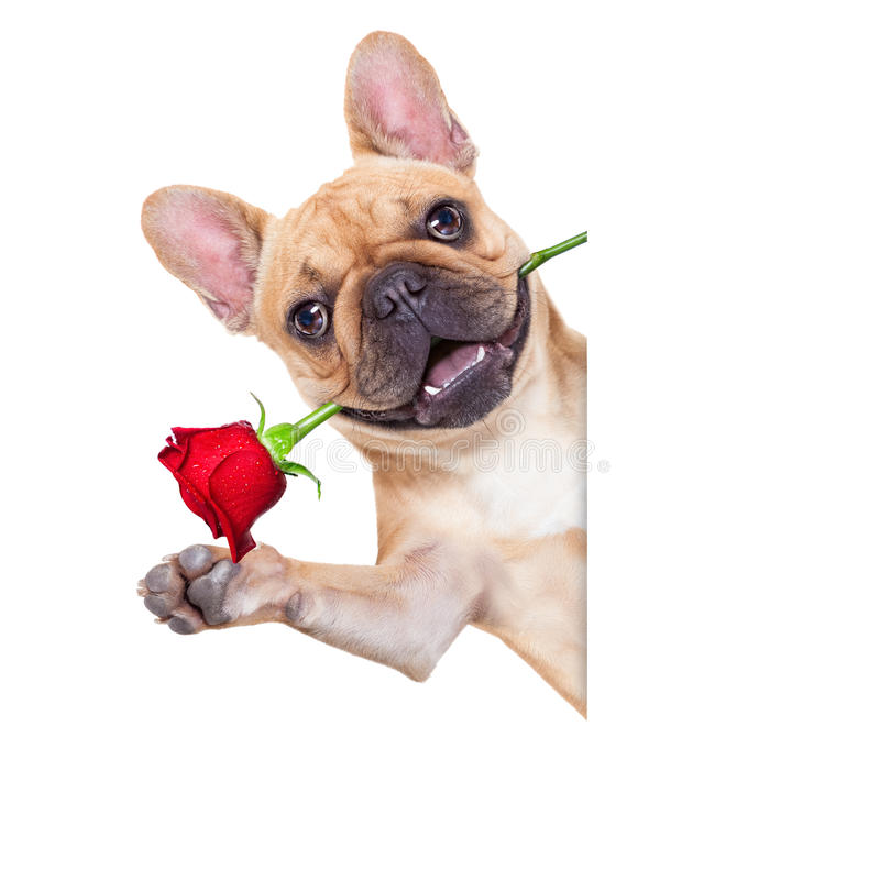 Valentines dog. In love with you , with a red rose in mouth , waving with hands, isolated on white background stock photos
