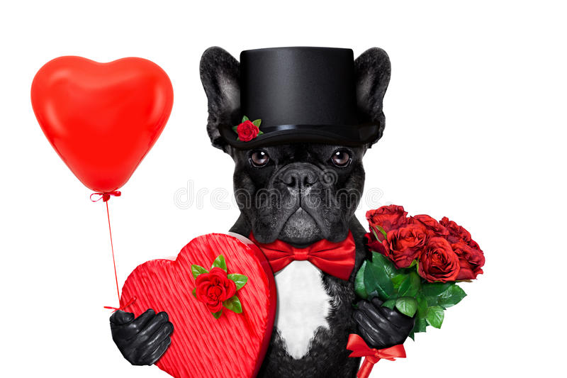 Download Valentines groom dog stock photo. Image of gift, french - 49445798