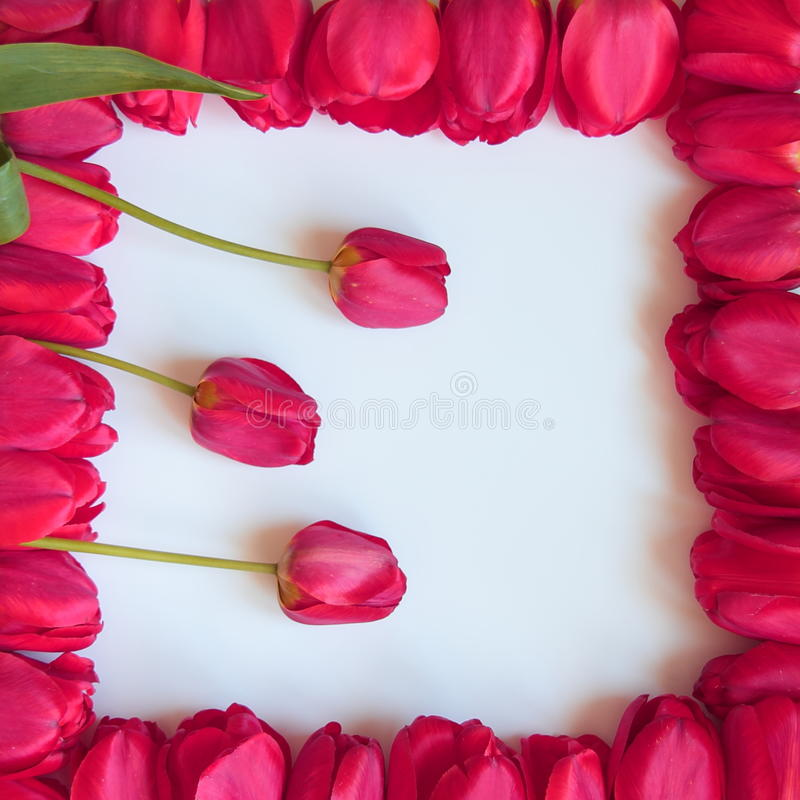 Valentines or Mothers Day Frame - Stock Photos. Valentines or Mothers Day tulips frame - purple pink red tulip flowers on white background royalty free stock image