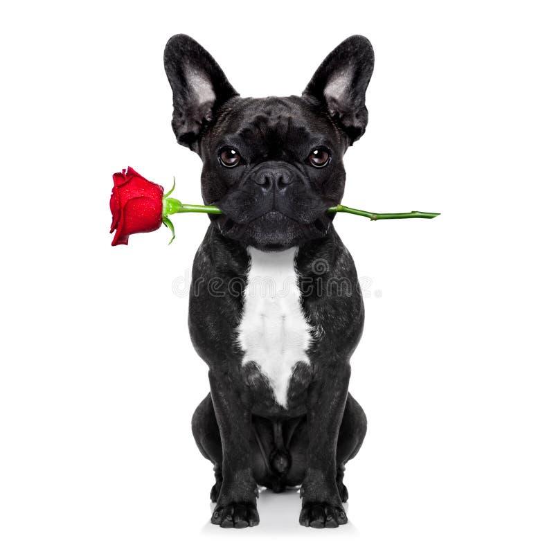 Valentines rose dog stock images