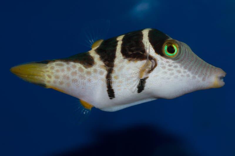 Valentini Puffer fish stock images