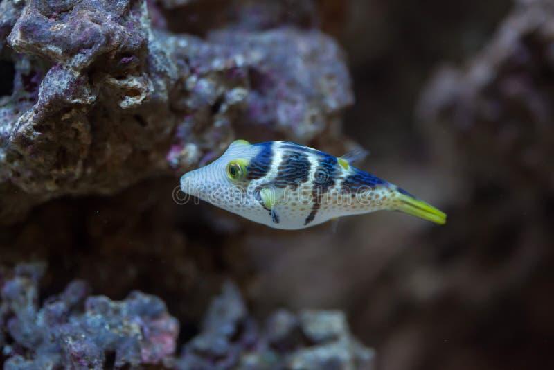 Valentinni ` s sharpnose puffer Canthigaster valentini zdjęcie royalty free