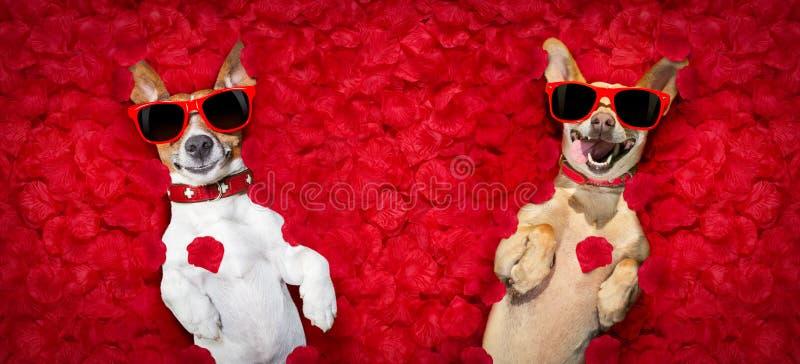 Valentinsgrußpaare von Hunden mit den rosafarbenen Blumenblättern stockbilder