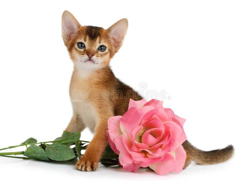 Valentinsgrußthemakätzchen mit Rosarose lizenzfreies stockfoto