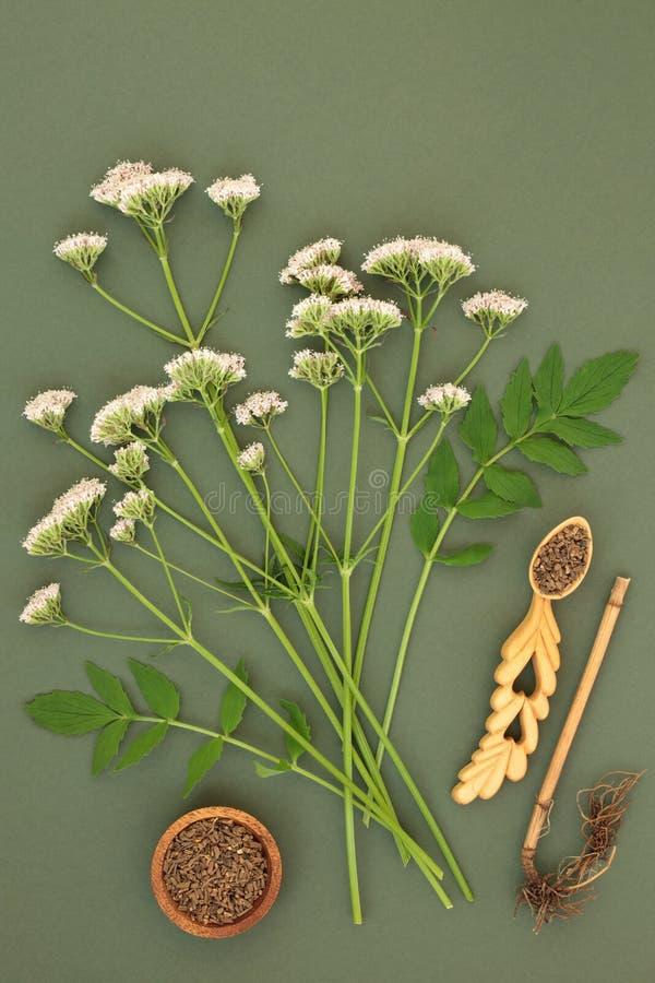 Valerian ρίζα και λουλούδια χορταριών στοκ φωτογραφίες με δικαίωμα ελεύθερης χρήσης