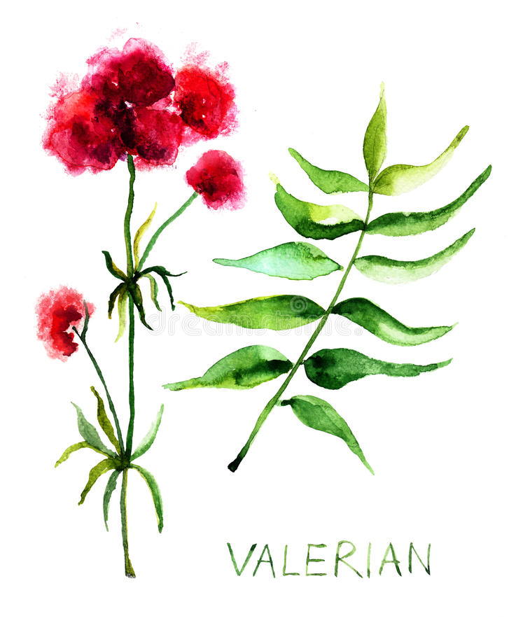 Valerian χορτάρι ελεύθερη απεικόνιση δικαιώματος