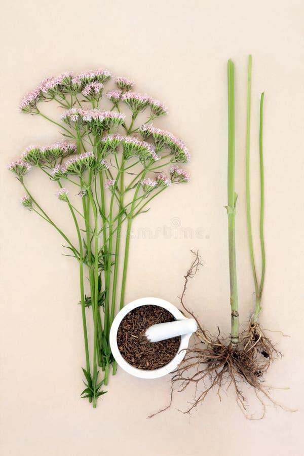 Valerian Herb imagens de stock