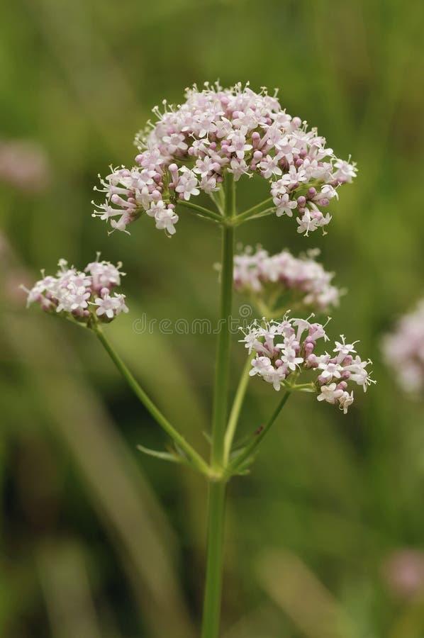 Valeriana común - officinalis del Valeriana imagen de archivo libre de regalías