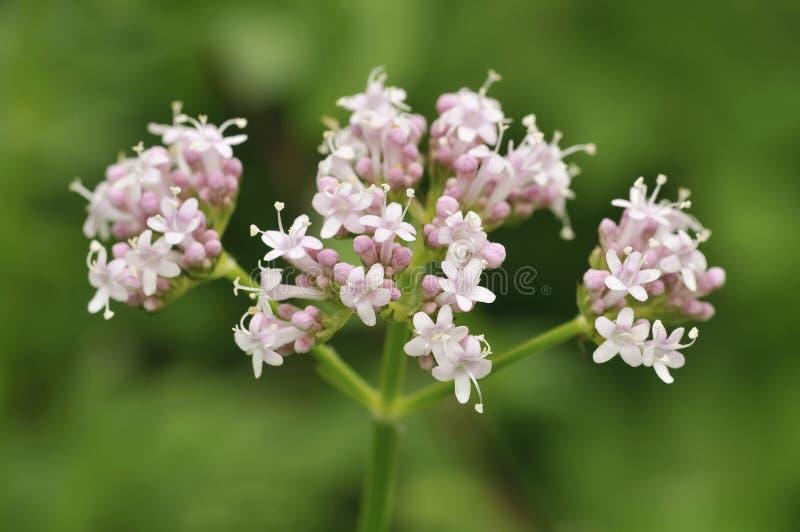Valeriana comune - officinalis del Valeriana fotografie stock