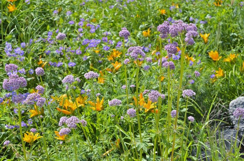 Valeriana medicinale 3 dell'erba immagine stock libera da diritti