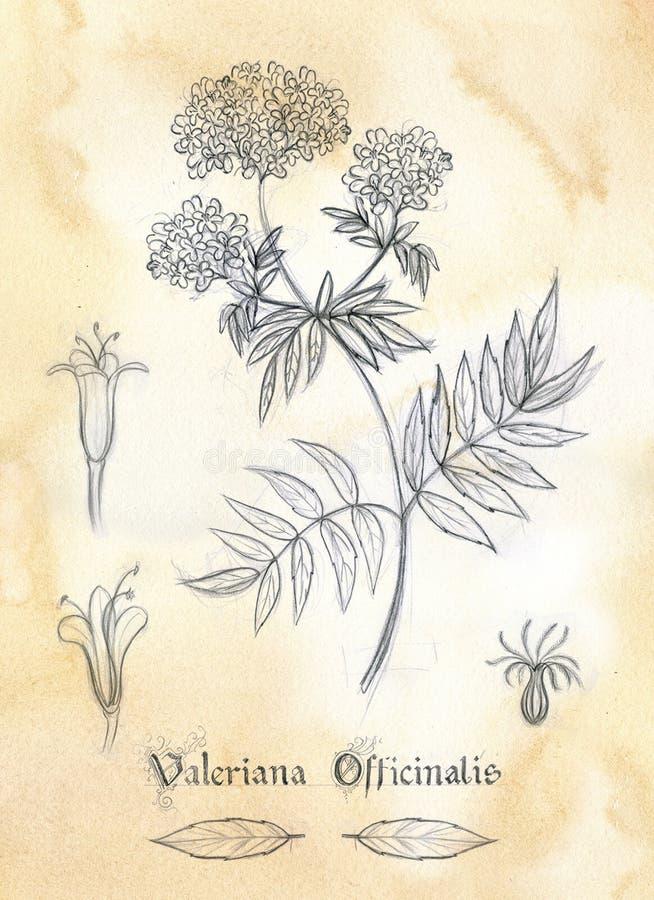 Valeriana Officinalis del herbario ilustración del vector