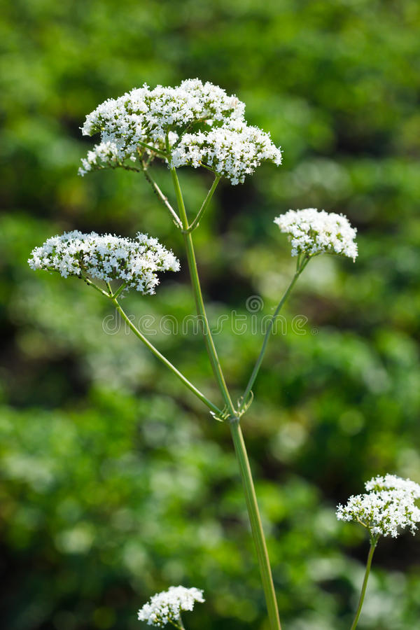 Valeriana officinalis, Valerian herb royalty free stock images