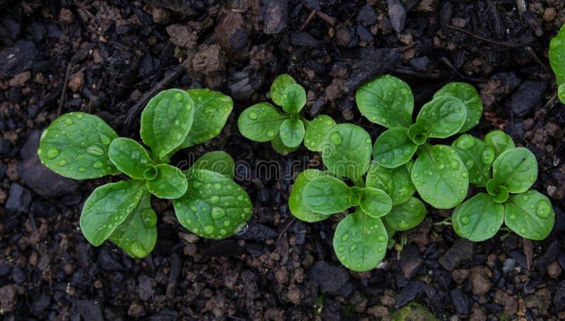 Valerianella con le gocce di pioggia che crescono nel suolo fotografia stock libera da diritti