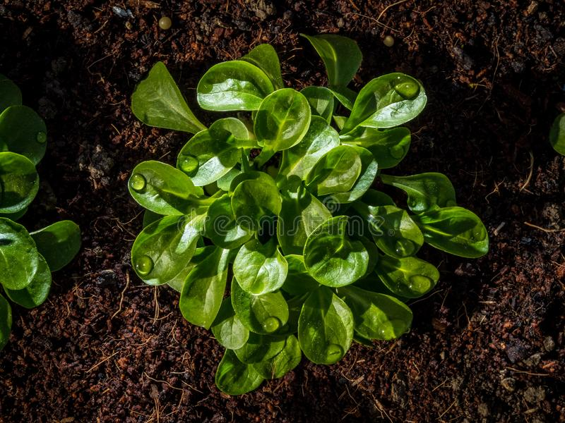 Valerianella o dolcetta nel letto alzato del giardino immagini stock libere da diritti